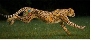 lean-cheetah
